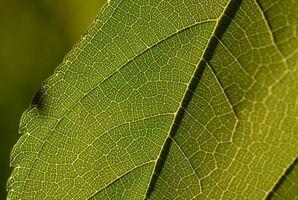 Hvordan lage en plantecelle Model Step-by-Step