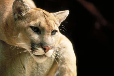 Hva er en Cougar er Habitat Like?