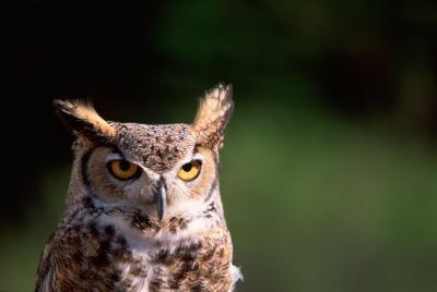 Kjennetegn på den store Horned Owl