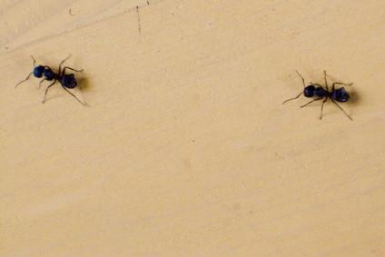 Botemidler for små maur i huset