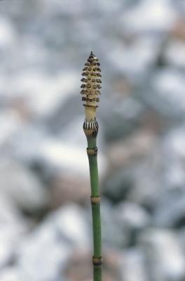 Deler av en Horsetail