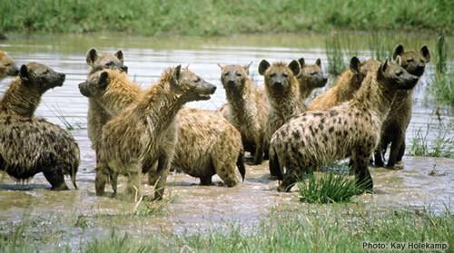 Hvor fort en hyene Run?