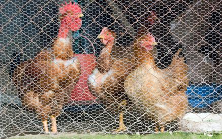 Hvordan komme i gang Raising Chickens