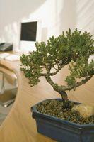 Hvordan å opprettholde en Bonsai Plant
