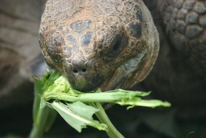 Hvordan bygge en Outdoor Russisk Tortoise Box