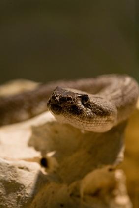 The Life Cycle av en Pit Viper