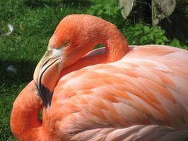 Caribbean Flamingo Diet
