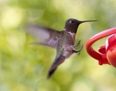 California Hummingbird Identification