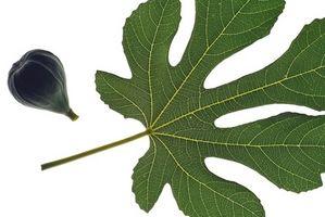 Typene Fig Tree Leaf Veins
