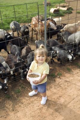AGS nigerianske Dwarf Goat Informasjon