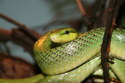 Typer av ikke-giftige slanger i Pennsylvania