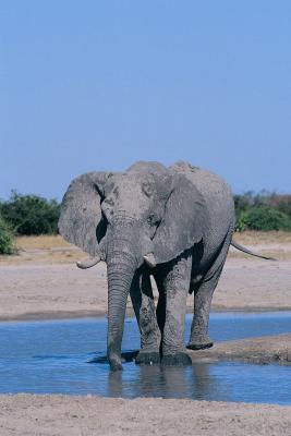 Habitat Krav til en afrikansk elefant