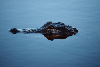 Hvilken type fisk Alligators Eat Do?