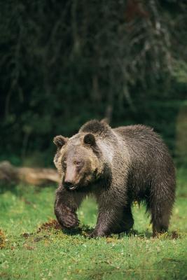 Ulike arter av bjørn