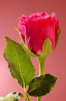 Slik fjerner Thorns i Roses for blomsterdekorasjoner