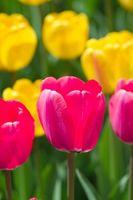 Tulip Wedding Bouquet Ideer