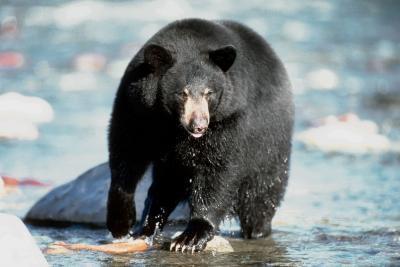 Hvordan Gi amerikanske Black Bears