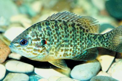 Typene Sunfish