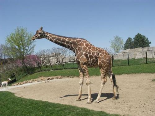Hvordan en Giraffe beskytter seg selv