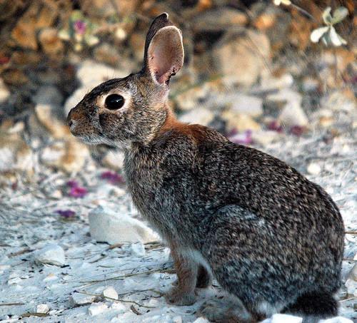 Fakta om Cottontail kaniner