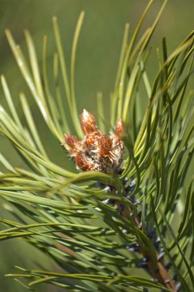 Uvanlige Fakta om Pine Trees