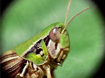 Ulike arter av Grasshoppers