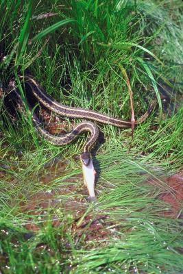 Habitat av Red-Spotted Garter Snakes
