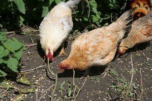 Liste over Chicken Sykdommer