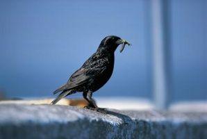 Slik fjerner en Glue Trap Fra Birds