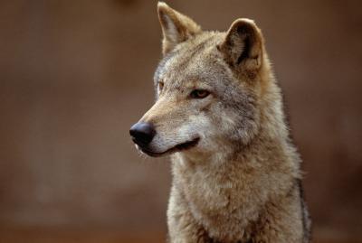 Hvordan bruke Snares for å fange Coyotes