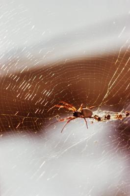 Vanlige Wyoming Edderkopper