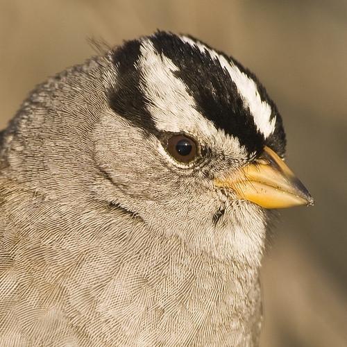 Cornell Lab of ornitologi Bird Identification