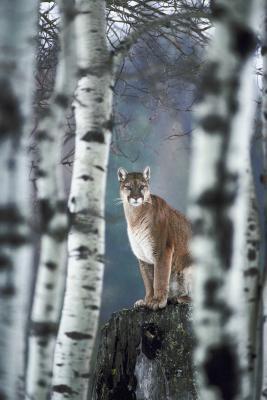 Typer av arter av Cats & Cougars